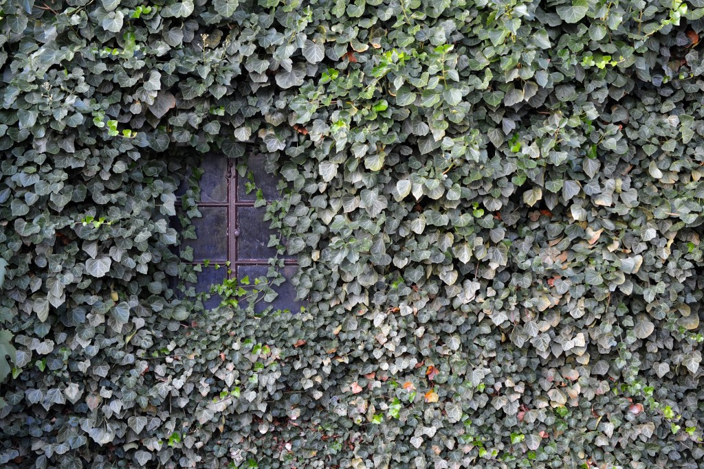 ivy covering a building